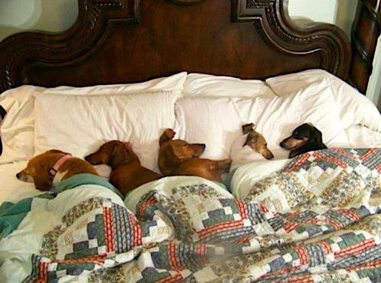 Dog on Bed | Pawsbazaar