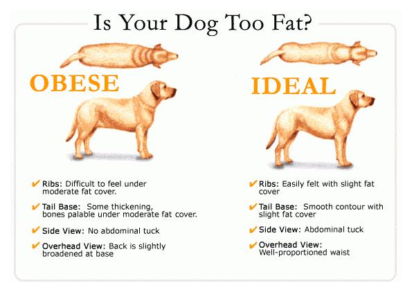 Fat dog | Paws Bazaar